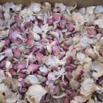 L'aglio dopo la sgranatura manuale