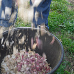 Garlic after manual ginning