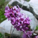 Arbusteti: Daphne sericea