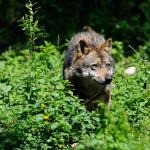 Boschi: Il lupo