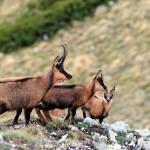 Habitat estremi: Camosci sulla montagna d'Ugni