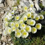 Habitat estremi: Papavero alpino